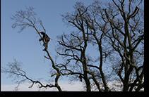 Essex tree surgeons